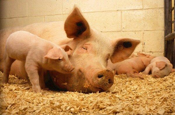 Control de Incorporación y Sanitario de Los Animales de Recría y Cebo
