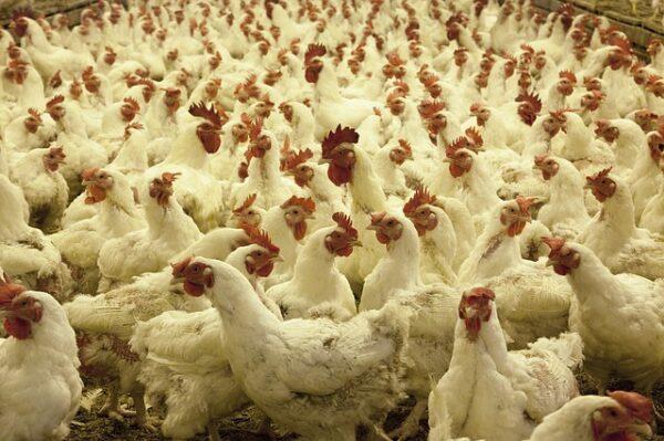 Control y Manejo de Aves en la Explotación Avícola